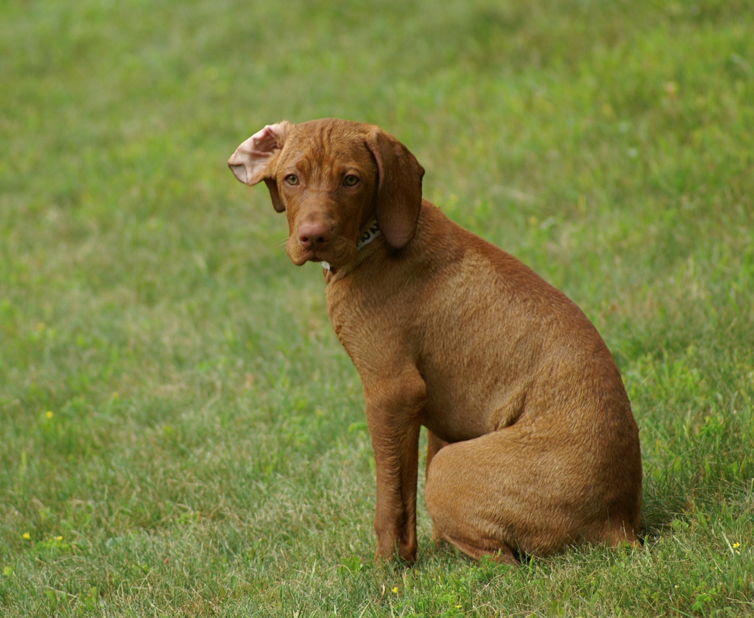 Brown Dog Breeds To dog breeding (local,